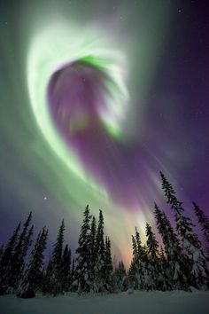Aurora Borealis dances in the night sky over snow covered trees in Arctic Sweden | image by Antony Spencer
