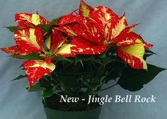 Poinsettia - Jingle Bell Rock