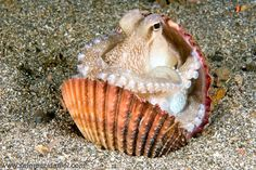 Apparently, the octopus enjoys the protection of shells.