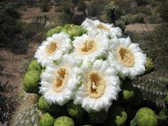 fiore di Saguaro