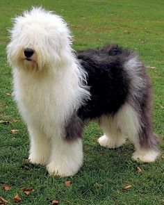 Old English Sheepdog Color: Any shade of blue, blue merle, grizzle, gray, with white marking. Cute Dogs Breeds, Dog Breeds, Dogs And Kids, Dogs And Puppies, Doggies, American Bobtail Cat, Animals And Pets, Cute Animals, Old English Sheepdog