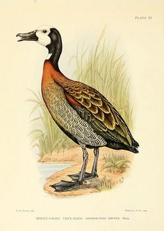 """wapiti3: """"(White faced Tree Duck) The game-birds & water-fowl of South Africa, by Major Boyd Horsbrugh…With coloured plates by Sergeant C. G. Davies. on Flickr. Via Flickr: Publication info..."""