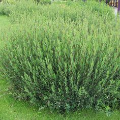 Arctic willow - makes one of those fences that makes good neighbors