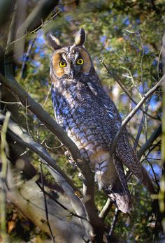 Long-eared Owl (Asio otus) http://www.ctbirding.org/photos_owls/longear%20diagonal%20full.jpg