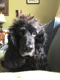 English Cocker Spaniel, Dog Paintings, Spaniels, Marcel, Sadie, Doggies, Animals, Pets, Dogs