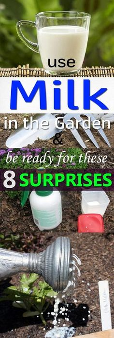 Learn about the 8 amazing milk uses in the garden that will amaze you.