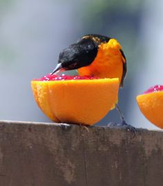 Oriole gobbling down the jelly