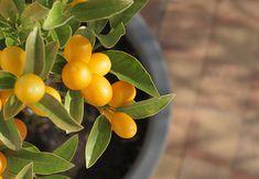 Pflegefehler bei Zitruspflanzen Care mistakes in citrus plants - In recent years, scientific studies Kumquat Tree, Citrus Trees, Orange Trees, Growing Tree, Growing Plants, Small Trees, Indoor Garden, Gardening Tips, Urban Gardening