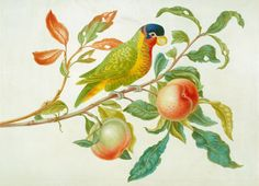 The Royal Collection: Ornate lory on branch of peach tree. A watercolour and bodcolour depiction of a branch with leaves and two ripening peaches [Prunus persica] and some leaves partly eaten by insects. A multi-coloured Parrot is perched on the branch with dark blue head, yellow beak, green, red and orange feathers. By Maria Sibylla Merian (1647-1717).