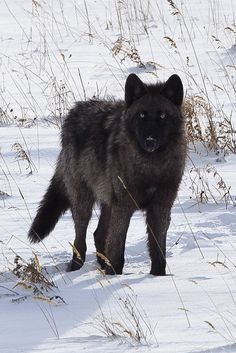 Wolf in Yellowstone National Park. - title Black Beauty