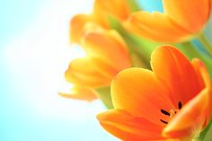 widescreen backgrounds tulip  (Aston Chester 5616x3744)
