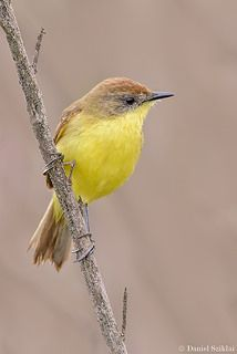 Ticking Doradito (Pseudocolopteryx citreola)  is a species of bird in the family Tyrannidae. It is found in swamps and riparian habitats in central Chile and western Argentina.
