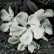 Oleander watercolor floral painting by roseanne kissee paintings oleander watercolor floral painting by roseanne kissee paintings of white flowers pinterest watercolor and paintings mightylinksfo