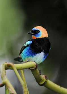 Golden-hooded Tanager | Flickr - Photo Sharing!