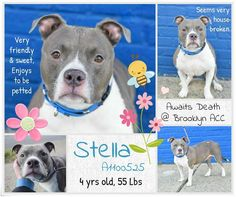 STELLA – A1100525  Very gentle lovely soul in form of a beautiful dog girl with a slight limp is on death list today! If you would like to foster or adopt and can't make it to the shelter, please write an email NOW to the Urgent Help Desk at Helpdogs@Urgentpodr.org Their experienced volunteers will assist you one-on-one with rescues and the application process. Transport can be arranged by rescues to the homes of approved fosters or adopters within 3-4 hours of New York City