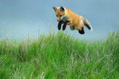 red fox corbisimages.com (happy leap year)