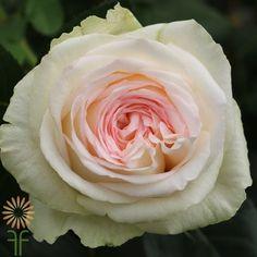 Exquisite Garden Roses | Wholesale Flowers & DIY Wedding Flowers Wedding Flower Inspiration, Diy Wedding Flowers, Floral Wedding, Blush Roses, Blush Pink, Colorful Flowers, Pink Flowers, Plants, Garden Roses