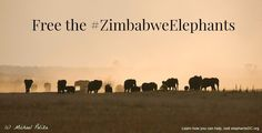 Over 30 Baby Elephants Have Now Been Kidnapped In Zimbabwe Destined for zoos in #China #France #UAE
