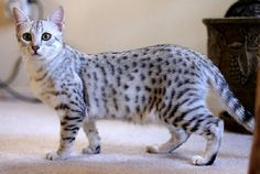 Egyptian Mau is a natural short haired breed of cat of the desert of the Arabian peninsula, which lives there in the streets and has adapted very well to the extreme climate.