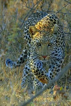 I love big cats Big Cats, Cool Cats, Cats And Kittens, Siamese Cats, Nature Animals, Animals And Pets, Cute Animals, Wild Animals, Baby Animals