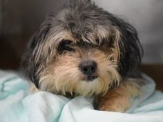 SAFE+++SUPER URGENT 01/07/15 Brooklyn Center   BAMBI - A1024899  **POSSIBLY BLIND**SAFER : EXPERIENCED / NO CHILDREN***  MALE, BLACK / WHITE, SILKY TERRIER MIX, 14 yrs OWNER SUR - EVALUATE, NO HOLD Reason NO TIME  Intake condition GERIATRIC Intake Date 01/07/2015, From NY 11105, DueOut Date 01/07/2015,