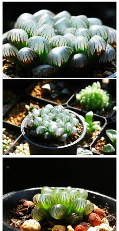 Haworthia obtusa var.pilifera - I have one of these, slightly less plump than this one