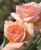 Apricot Candy™ Hybrid Tea Rose - Monrovia - Apricot Candy™ Hybrid Tea Rose