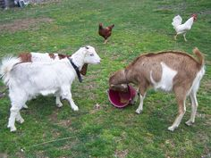 Keeping Dairy Goats