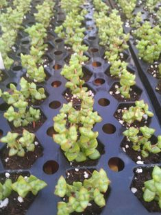 Crassula Baby Buttons