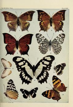 The butterfly book : - Biodiversity Heritage Library pub. 1920