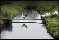 """Why did the chicken cross the road?  I mean bridge?  """"TO GET TO THE OTHER SIDE!!!"""""""