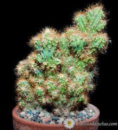 Cereus sp. cristata Cactus Terrarium, Succulent Bonsai, Cacti And Succulents, Cactus Plants, Purple Plants, Exotic Plants, Echeveria, Suculent Plants, Cactus Names