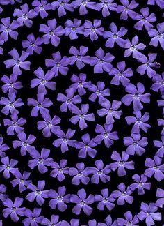 Black Purple Rain Pink Periwinkle Flowers Magenta Hues