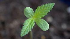 plantas de Cannabis - como plantar cannabis