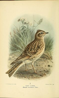 n21_w1150 by BioDivLibrary on Flickr. Sky-lark.  Coloured figures of the birds of the British Islands / issued by Lord Lilford.. London :R. ...