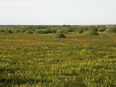 Kosaćcowe pole/ Iris field