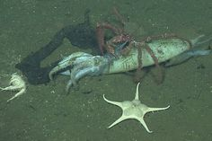 The Squid That Sink to the Oceans Floor When They Die
