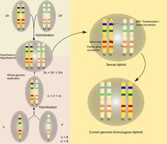 How yeast doubled its genome, by mating between species -- ScienceDaily