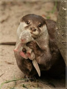 Otter showing it's baby. I love otters! Otters love u! Baby Otters, Cute Baby Animals, Funny Animals, Wild Animals, Newborn Animals, Cute Animals With Funny Captions, Otters Funny, Smiling Animals, Funniest Animals