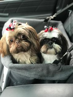 Quality ShihTzu for quality homes for Pets and Therapy dogs. We offer LIFETIME advice for your Glory Ridge ShihTzu. Imperial shihtzu to standard size shihtzu in every color. Shitzu Puppies, Teacup Puppies, Cute Puppies, Cute Dogs, Dogs And Puppies, Teacup Chihuahua, Doggies, Shih Tzu Poodle, Shih Tzu Dog