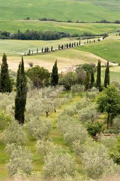 Olive grove and cypress trees on the rolling hills of Tuscany near Montepulciano - Stock Photo - 19656568