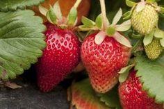 Companion Plants for Strawberries ok planting oregano near my strawberries