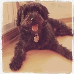 Schnoodle (Shnauzer poodle X) - This is not my dog buddy but he could be Buddie's twin