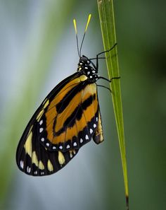 The Postman Butterfly, Common Postman, or simply Postman (Heliconius melpomene) is one of the heliconiine butterflies found from Mexico to northern South America. Ladybugs, Butterfly Wings, Beautiful Butterflies, Garden Paths, Moth, Insects, Freedom, Around The Worlds, Mexican