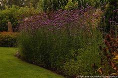 Jesienne kwiaty #3. Werbena patagońska.Webena patagońska jest bardzo prosta w uprawie. Wymaga dość żyznych ale przepuszczalnych gleb o lekko zasadowym odczynie. Dobrze czuje się na słońcu i w półcieniu. Starsze rośliny doskonale znoszą suszę. W naszym klimacie wieloletnia werbena traktowana jest jak roślina jednoroczna gdyż często nie jest w stanie przeżyć zimy. Można spróbować przezimowania w gruncie okrywając roślinę na zimę lub potraktować jak pelargonie – wykopać kępy do donic i przetrzymać Plants, Plant, Planets