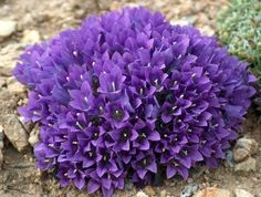 Edraianthus pumillio - modroušek - Okrasné rostliny Vegetables, Plants, Vegetable Recipes, Veggie Food, Planters, Veggies, Plant, Planting