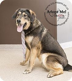 URGENT! I am at a kill shelter in Troy, OH - Labrador Retriever Mix. Meet Toby a Dog for Adoption.