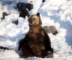 Le grizzly du Bronx zoo de New York.
