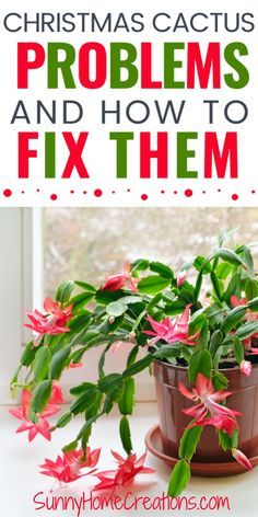 If your indoor houseplant - a Christmas cactus is having problems, such as not blooming or looking like it is going to die, check out these ways to fix your Christmas Cactus #christmascactus #houseplant #indoorgardening #gardening #christmascactusproblems #christmascactusnotblooming