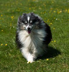 Sheltie enjoying his run